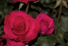 Free Flower, Rose, Rose Family, Pink Stock Photos - 112678593
