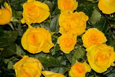 Free Flower, Rose, Yellow, Rose Family Stock Image - 112678611