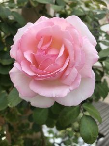 Free Rose, Flower, Rose Family, Pink Royalty Free Stock Photos - 112678668