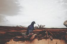Free Purple And Gray Pigeon Perched On Brown Roof Royalty Free Stock Photo - 112738755