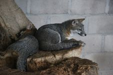 Free Mammal, Fauna, Grey Fox, Fox Stock Image - 112839821