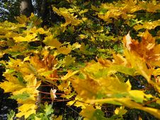 Free Leaf, Yellow, Autumn, Tree Royalty Free Stock Photography - 112839917