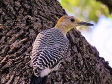 Free Bird, Fauna, Beak, Woodpecker Stock Photo - 112840060