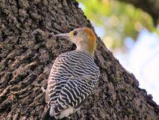 Free Bird, Fauna, Beak, Woodpecker Royalty Free Stock Images - 112840139