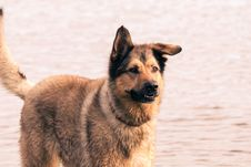 Free Dog, Dog Like Mammal, Dog Breed, Old German Shepherd Dog Royalty Free Stock Photos - 112840268