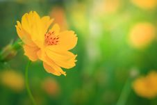 Free Flower, Yellow, Sulfur Cosmos, Wildflower Stock Images - 112840374