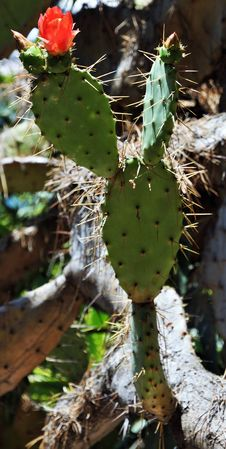 Free Plant, Cactus, Flowering Plant, Eastern Prickly Pear Royalty Free Stock Photography - 112840407
