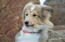 Free Dog, Dog Breed, Rough Collie, Scotch Collie Royalty Free Stock Images - 112840499