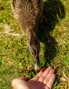 Free Bird, Fauna, Beak, Grass Royalty Free Stock Images - 112840549