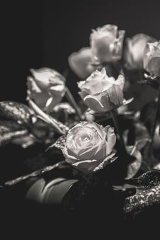 Free Flower, Black And White, Black, Rose Family Royalty Free Stock Photos - 112840768