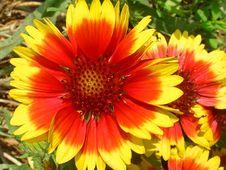 Free Flower, Blanket Flowers, Wildflower, Plant Stock Photos - 112840893