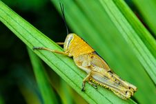 Free Insect, Locust, Cricket Like Insect, Macro Photography Stock Photos - 112841043