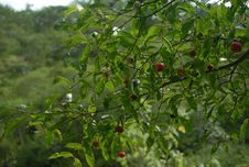 Free Vegetation, Plant, Peppers, Tree Royalty Free Stock Photo - 112841055