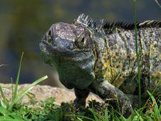 Free Reptile, Scaled Reptile, Iguana, Lizard Stock Images - 112841094