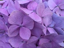 Free Flower, Lilac, Violet, Purple Royalty Free Stock Photography - 112841127
