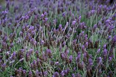 Free Plant, Flower, English Lavender, French Lavender Royalty Free Stock Photos - 112841308