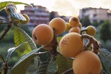 Free Fruit, Loquat, Fruit Tree, Produce Royalty Free Stock Photography - 112841437