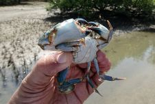 Free Crab, Water, Dungeness Crab, Decapoda Stock Image - 112841491