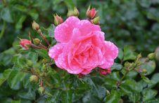Free Rose Family, Flower, Rose, Floribunda Stock Images - 112841774