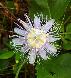 Free Flower, Passion Flower, Passion Flower Family, Purple Passionflower Stock Photo - 112841790