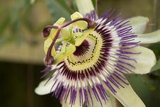 Free Flower, Plant, Passion Flower, Passion Flower Family Stock Photos - 112841893