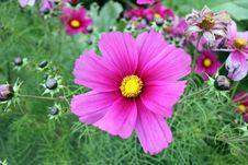 Free Flower, Garden Cosmos, Plant, Flowering Plant Stock Image - 112842061