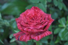 Free Flower, Rose, Rose Family, Floribunda Stock Photo - 112842110