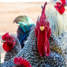 Free Chicken, Rooster, Galliformes, Beak Royalty Free Stock Images - 112842199