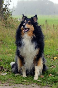 Free Dog, Dog Like Mammal, Rough Collie, Scotch Collie Stock Photos - 112842253