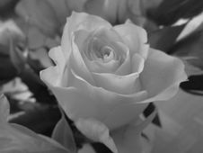 Free Rose, Rose Family, Flower, White Royalty Free Stock Photos - 112842288
