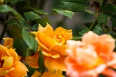 Free Flower, Yellow, Rose Family, Rose Royalty Free Stock Photography - 112842367