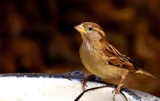 Free Bird, Sparrow, House Sparrow, Fauna Stock Photos - 112842413