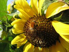 Free Flower, Sunflower, Yellow, Sunflower Seed Royalty Free Stock Photos - 112842468