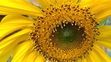Free Sunflower, Flower, Yellow, Sunflower Seed Royalty Free Stock Images - 112842499