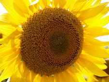 Free Sunflower, Flower, Yellow, Sunflower Seed Stock Photos - 112842543
