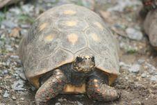 Free Tortoise, Turtle, Emydidae, Terrestrial Animal Stock Photography - 112842762