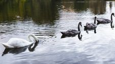 Free Bird, Water Bird, Swan, Ducks Geese And Swans Royalty Free Stock Images - 112842789