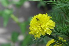 Free Flower, Yellow, Flora, Sow Thistles Royalty Free Stock Photo - 112842905
