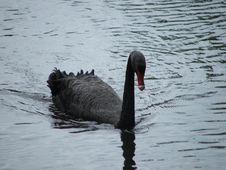 Free Black Swan, Water Bird, Bird, Ducks Geese And Swans Royalty Free Stock Photo - 112842965