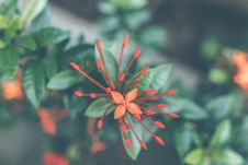 Free Close-Up Photography Of Red Ixora Coccinea Stock Photos - 112878133