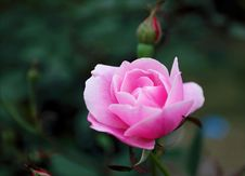 Free Shallow Focus Photography Of Pink Rose Royalty Free Stock Photos - 112878238