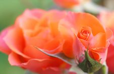 Free Orange And Pink Flower Royalty Free Stock Image - 112878266