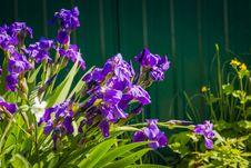 Free Purple Iris Flowers Royalty Free Stock Image - 112973056