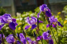 Free Purple Iris Flowers Royalty Free Stock Photography - 112973067