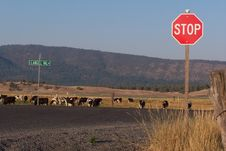 Stop Before You Run Into The Cows Royalty Free Stock Images
