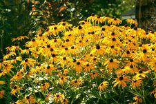 Free Blackeyed Susans Royalty Free Stock Image - 1130296