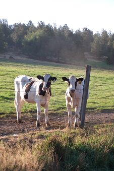 Two Inquisitive Calves 2 Royalty Free Stock Image