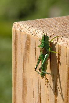 The Grasshopper Royalty Free Stock Photos