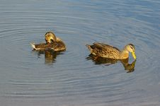 Free Pintail Ducks Sunning At The Boat Ramp Royalty Free Stock Photography - 1132427