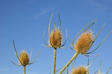 Free Dead Thistles Royalty Free Stock Photos - 1132698